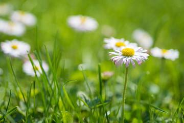 Daisy flowers on meadow.
