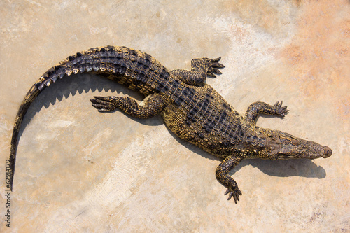 crocodile laying in farm