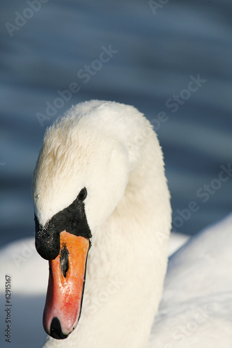Close up of a mute swans head