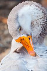 Portrait of goose