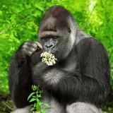 Gorilla bewundert Blümchen