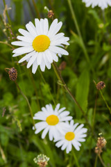 close up of daisy growing in field
