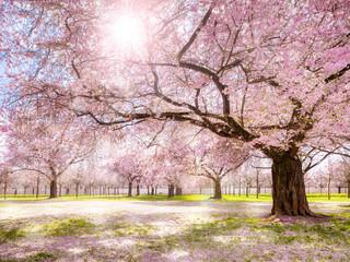 Kirschbaum im Frühling