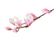 Magnolia flower branch isolated on a white background