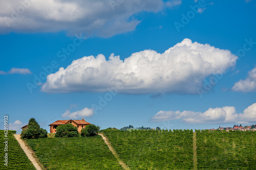 View of green vineyards in summer.
