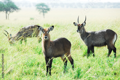Waterbuck herd, Kidepo Valley National Park (Uganda)