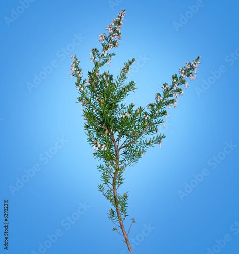 White lucky heather over blue - wild flower