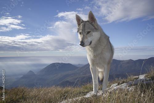 Foto op Plexiglas Wolf Lupo dei Carpazi (Cecoslovacco)