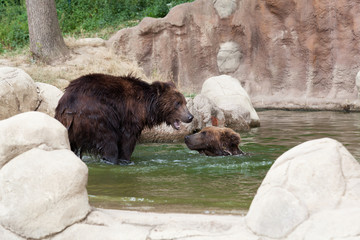 Two young brown Kamchatka bears swim in the lake