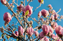 ping fleurs de magnolia d'arbres