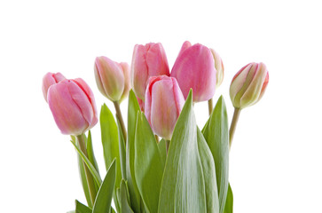 Pink Dutch tulips in closeup