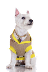 west highland white terrier dog in a sweater
