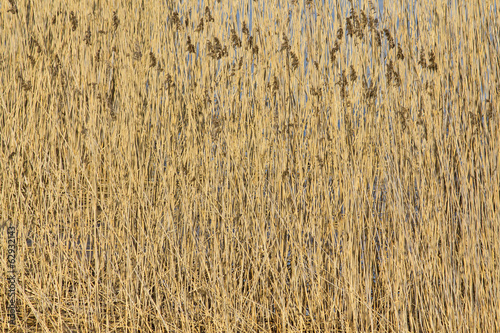 Bulrush background