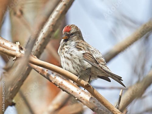 Common Redpoll (Carduelis flammea)