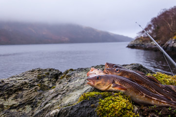Freshly caught cods on a rock with fishing rod and Scottish loch