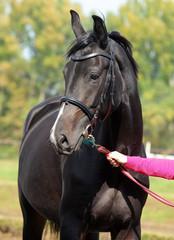 Domestic horse portrait