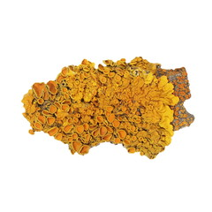 Common orange lichen isolated on white