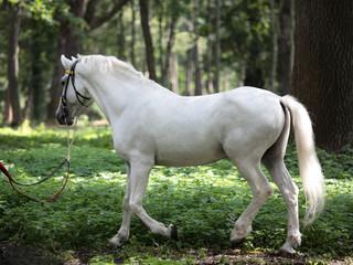 English full blood horse