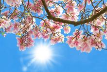 Magnolia dans le soleil