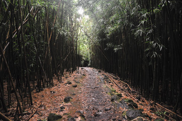 Maui's bamboo forest along the Pipiwai Trail