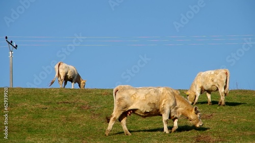 White cow grazing on green meadow, and blue sky