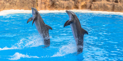Dolphins performing a tail stand in a pool in a park show