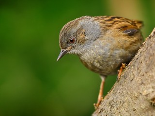 Dunnock (Prunella modularis) on branch
