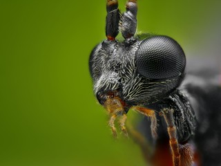 Extreme sharp and detailed macro portrait of small wasp