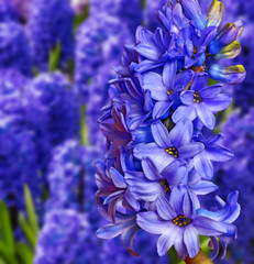 blue and pink hyacinths in the garden