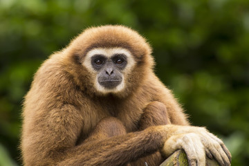 White handed gibbon eye contact