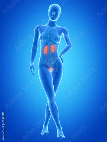 medical illustration of the female urinary system