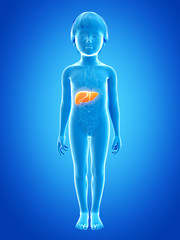 anatomy of a young child - liver