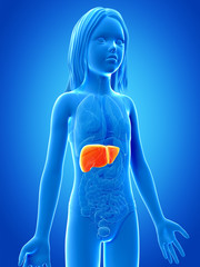 anatomy of a young girl - the liver