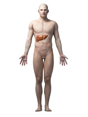male anatomy illustration - the liver