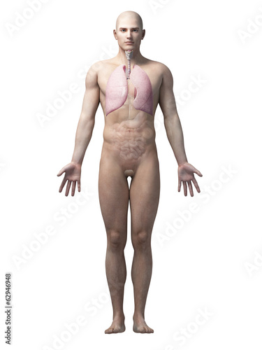 male anatomy illustration - the lung