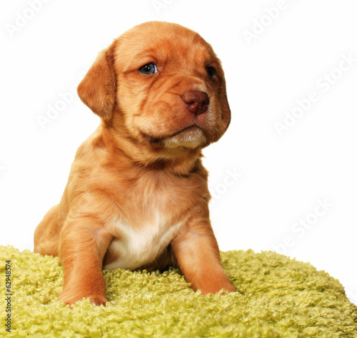 Closeup of cute one month old puppy isolated on white