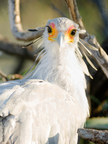 Secretary Bird Looks Back Large Raptor Animal Wildlife