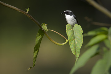 Grey bushchat male bird in Nepal