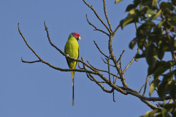 Plum-headed parakeet bird male in Nepal