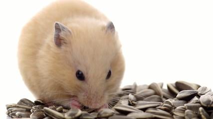 ひまわりの種を食べるキンクマハムスター