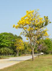 Yellow flower of Tabebuia Argentea tree
