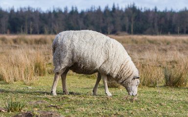 Sheep with a thick winter coat