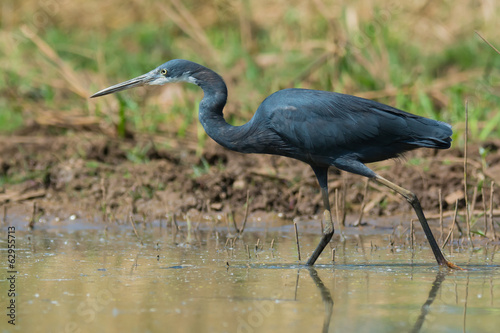Western Reef Heron walking in shallow water
