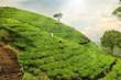 tea plantation hills