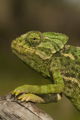 Close up view of a cute green chameleon on the wild.