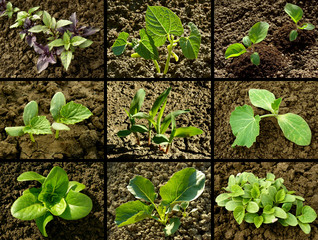 set of seedlings growing on the vegetable beds