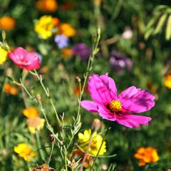 blumenwiese mit cosmea und ringelblumen