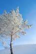 Lonely pine snow