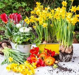 Pflanzen im Frühling: Osterglocken, Rapunzeln und Tulpen :)