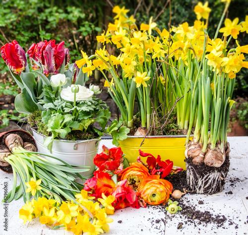 canvas print picture Pflanzen im Frühling: Osterglocken, Rapunzeln und Tulpen :)